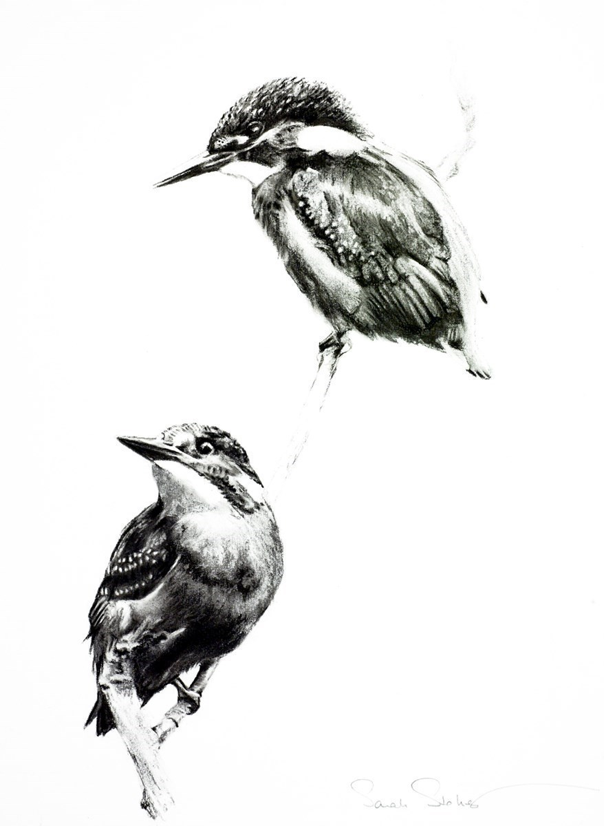 Kingfisher Duet Study by Sarah Stokes -  sized 14x18 inches. Available from Whitewall Galleries